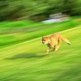 A cheetah showing what speed is