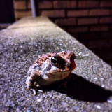 Brave little toad... @sti_case buddy from work #toad #animals #iphone #iphone5s #nature