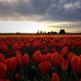 Tulip Festival in Mt. Vernon, Washington