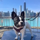 Chicago City Frenchie #StellaTheFrenchieBeBe