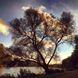 Tree along the river Amstel, Amsterdam
