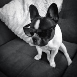 StellaTheFrenchieBeBe is way too cool 4 school 😎