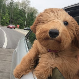 Cute Puppy with head out the car window