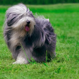 Beardedcollie