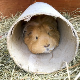 Guinea Pig looking out of cardboard tube
