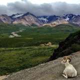 Dall Sheep taking in the view at Polychrome Pass in Denali National Park & Preserve