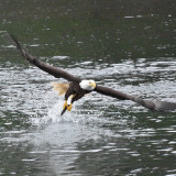 Bald eagle with fish in his talons. Taken in Alaska