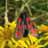 Six-spot Burnet moth living in the sand dunes at Benone beach in Northern Ireland