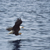 An American Bald Eagle swooping down from above