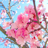 Pink Cherry Blossoms and Blue Sky