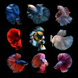 Siamese betta fish collection