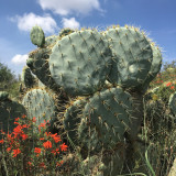 Cactus and wildflowers in Mineral de Pozos, Gto. Mexico