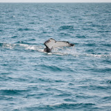 Whale calf of the coast of Mooloolaba
