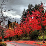 Red Japanese maples on the boulevard.