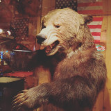 Grizzly bear. Million Dollar Cowboy Bar, Jackson, Wyoming