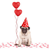 cute lovely grumpy pug puppy dog with heart shaped balloons for valentines day