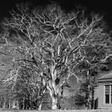 A gorgeous old oak tree I saw today, President's Day at Sagamore National Historic Site in Oyster Bay Cove, Long Island, NY. I made it into a black & white.