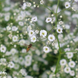 A hover fly doing reconnaissance. X-T1 + Canon 50mm f1.8#fujifilm #xt1 #nature #flowers #fly