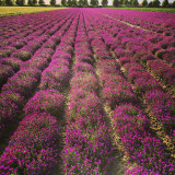 Beautiful field with purple flowers. Spring, Holland.