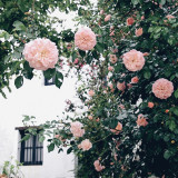 Flowers, Spring, Summer, pink, outside, nature, garden, wall, house, fence, green, travel, architecture, shrub, rose, window