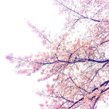 Cherry Blossom as a symbol for Japan.