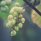 Grapes after the rain
