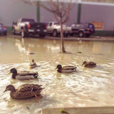 The ducks don't mind the pond in the parking lot :) Seattle 💧