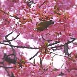 Cherry blossoms and white-eye.