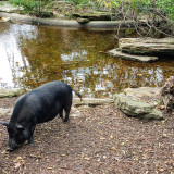 A pig hanging out by a pond.