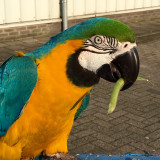 ~ Blue-and-gold macaw ~ 💛💙(Ara ararauna)