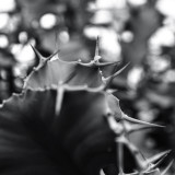 Pierce#cactus #prickles #spin #thorn #succulent #plant #light #shadow #blackandwhite #bnw #bnw_city #landscape #nature #igersjp #icu_japan #art_of_japan_  #worldclassshots #worldclassbnw #ig_worldclub #tokyo_grapher #ig_today #japan #love #peace #さぼてん #多肉植物 #棘 #自然 #風景 #感謝