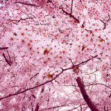 Cherry Blossoming