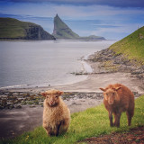 Lambs on the shore, Vágar, Faroe Islands