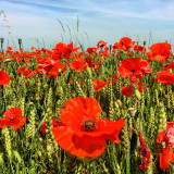 Poppies growing in wheat fields in Oxfordshire