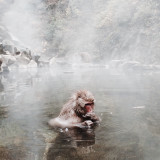 Snow Monkey at Jigokudani Monkey Park Nagano