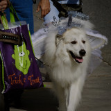 Halloween, dog, costume, angel, white, trick or treat, puppy, white, wings, halo, parade