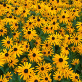 Maryland State Flower - Black Eyed Susan
