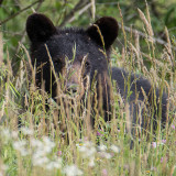 Large black bear hiding in the tall grass