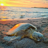 Green sea turtle on the beach at sunset in Kona Hawaii.
