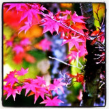 Fuchsia Pink Leaves, Portland Japanese Gardens, copyright 2014 @annaporterartist.  View/buy my entire collection of Portland and autumn prints available for purchase in my Instaprints Gallery at http://annaporter.instaprints.com . View/buy my original paintings for sale on my website at http://annaporterartist.com and in my Fine Art America Gallery at http://annaporter.fineartamerica.com. Follow me on Instagram at http://instagram.com/annaporterartist .