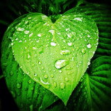 Raindrops on heart shape leaf