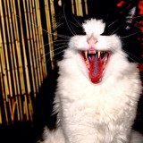 Grimblekin the laughing cat does his best Gene Simons impression from KISS!