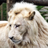 Magnificent creature, Thabo the white lion. I fell in love with this majestic beast and his beautiful female companions.