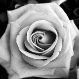 Rose in b&w style
