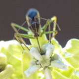 An assassin bug collects pollen from a milkweed blossom