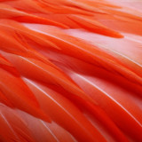 Flamingo feather abstract