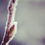 Frost-covered twig