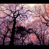 Taken in Tatton Park cheshire England United Kingdom. Edited to look like the veins of life within us which the trees quite literally are. We could not be without them.