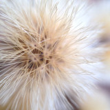 A macro shot of a dandelion-like flower on the side of the road.