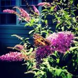 The Butterfly Bush at work!